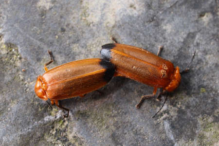 Two firebugs mating on the rock  photo