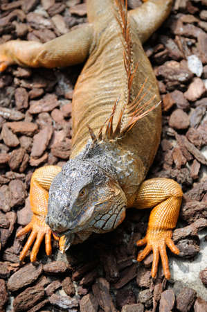 bask: A land iguana lying on the rocks to bask in the sun.