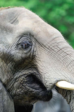 elephant head: An African elephants face with many details of its eyes, mouth, and tusks. Editorial