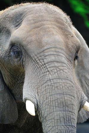 tusks: An African elephant Editorial