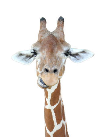 giraffe white background: Jirafa Foto de archivo