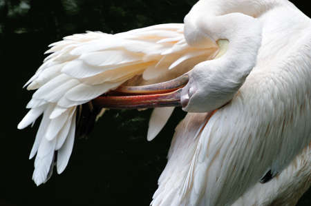 White pelican preening feathers of its wing  Stock Photo - 14705050