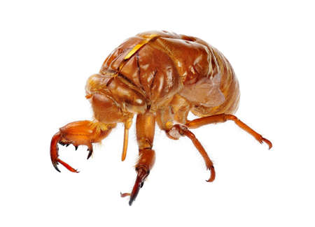 cicada bug: Beautiful cicada exuviae with full details of the original insect.
