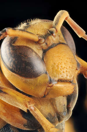 compound eyes: Paper wasp Polistes (Gyrostoma) rothneyi gressitti portrait with 4X magnification and full depth of view.