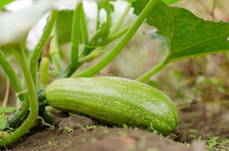 agricultura: Zucchini in the orchard Stock Photo