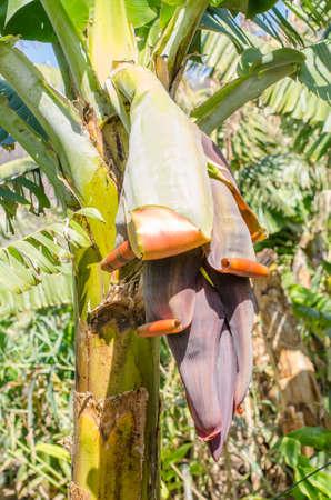 Banana flower on the banana tree. photo
