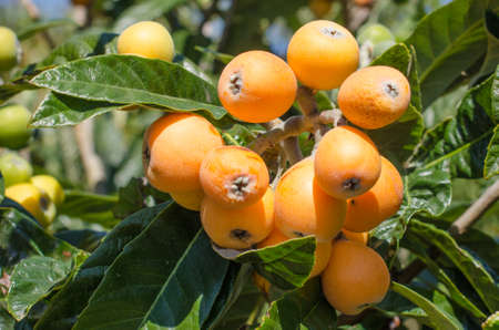forefront: Bunch of ripe loquats in the tree.