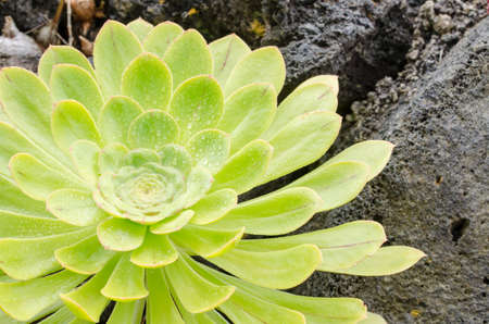 Aeonium, typical flower of the Canary Islands. Rosette with perfect symmetry.