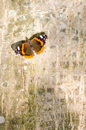 lepidopteran: Natural background: butterfly on the bark of a tree.