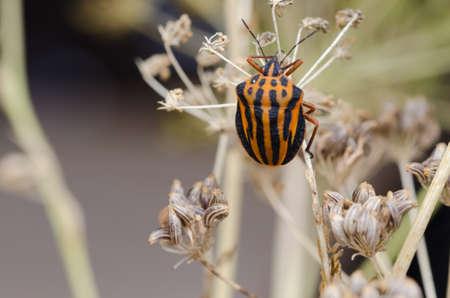 bedbug: Italian Striped-Bug or Minstrel Bug (Graphosoma lineatum).