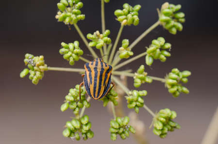 graphosoma: Italian Striped-Bug or Minstrel Bug (Graphosoma lineatum).