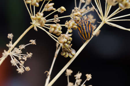 graphosoma: Italian Striped-Bug or Minstrel Bug (Graphosoma lineatum).