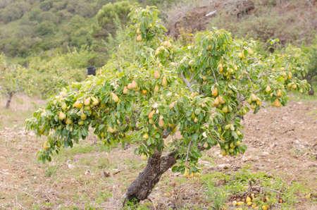Pear tree full of pears. Imagens