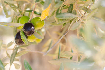 olive green: Green and black olives on the olive branch. Closeup view.
