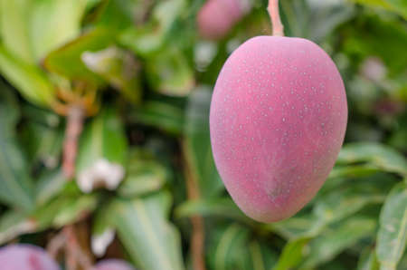 canary island: Close up of mangoes on a mango tree. (Canary island) Stock Photo