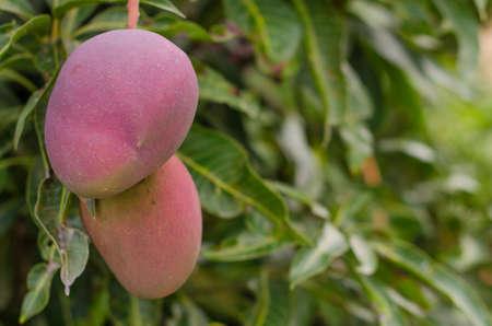 マンゴーの木にマンゴーのクローズ アップ。(カナリア島)