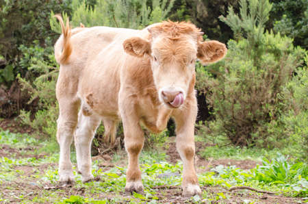 closeup cow face: Portrait of cow (small calf)breed of the Canary Islands.