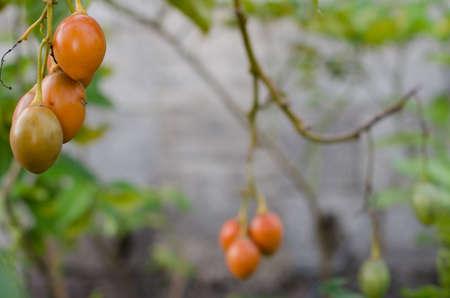 tomate de arbol: Tamarillo rama de un árbol (Solanum betaceum, tomate de árbol).