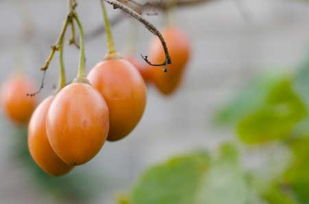 tamarillo: Tamarillo tree branch (Solanum betaceum, tree tomato).