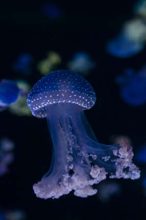 sea poison: Spotted jellyfishes (phyllorhiza punctata)  illuminated with blue light, swimming in aquarium.