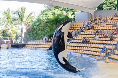 parque: TENERIFE, SPAIN - NOVEMBER 19, 2015: Orcan ocean show (Loro park). Loro Parque,  Puerto de la Cruz, Tenerife, Canary Islands, Spain.
