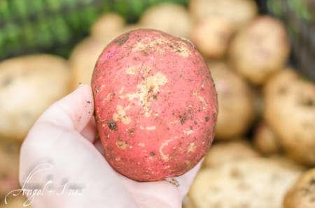 potatoe: Potatoe freshly dug in young woman hand.