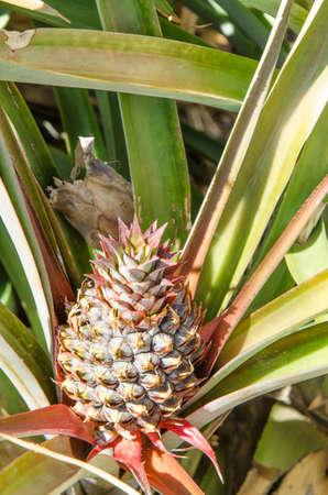 golfo: Pineapple plant and fruit, El Golfo, Frontera El Hierro, Canary island, Spain.