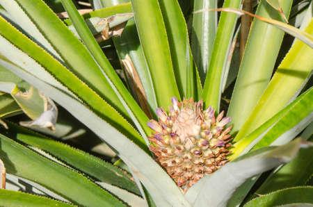 canary island: Flowering pineapple, Pineapple plantation, El Golfo, Frontera El Hierro, Canary island, Spain.