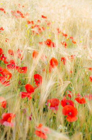 yelow: Color contrast: red poppy and yelow wheat, poppies in wheat field under the morning sun.