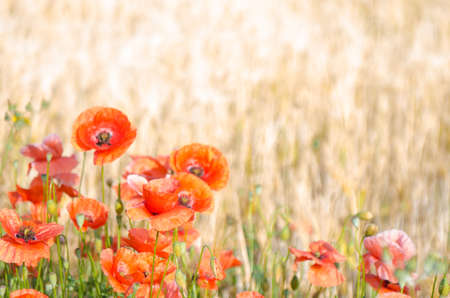 Color contrast: red poppy and yelow wheat, poppies in wheat field under the morning sun.