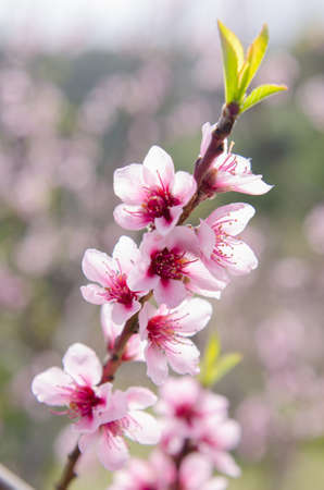 Macro Of Beautiful Peach Blossoms With Nature Blurred Background Stock Photo
