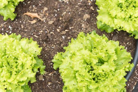 Fresh lettuce plants in the garden on a sunny day