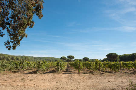 Porquerolles island, in the south of France. A beautiful vineyard on the island. Stock Photo