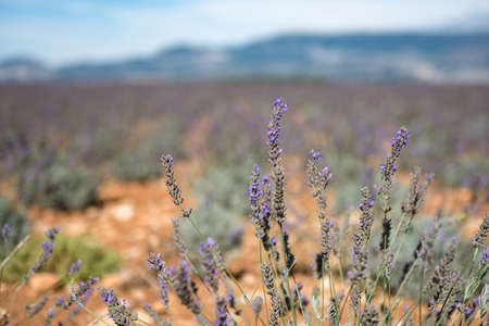 Close up of Purple Lavender flowers field at the end of the summer, in Provence, France.