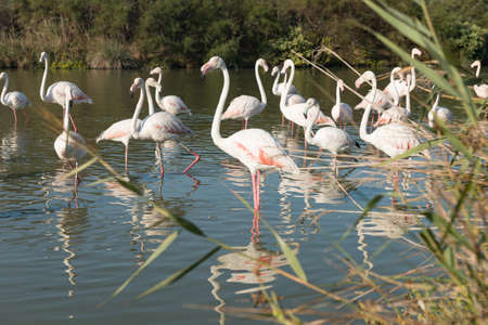 Greater Flamingos, nice pink big birds, dancing in the water, animals in the nature habitat, Camargue, France. Wildlife scene from nature. Stock Photo