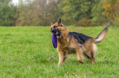 a watchman: German shepherd