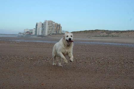 chien: Golden retriever à la plage