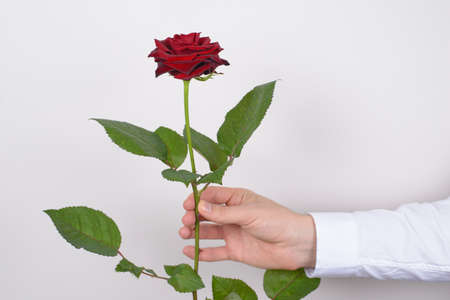 Close up photo picture of charming pretty big large rose flower in man's hand isolated over gray background