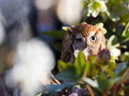 Eastern screech owls .  Eastern screech owls have a yellow or greenish yellow bill with yellow eyes.