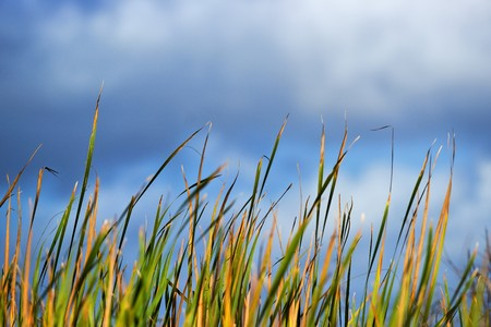 marsh plant: Everglades sawgrass and pond in the Florida Everglades against a blue sky Stock Photo