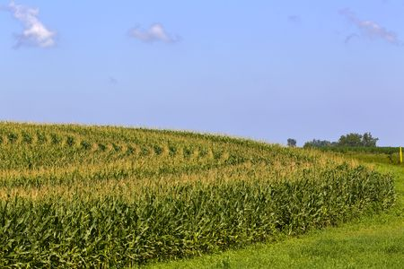Rows of corn against a blue sky Stock Photo - 7498956
