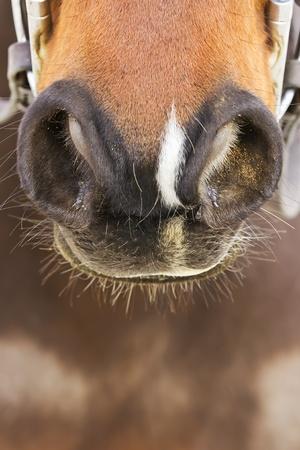 A closeup view of a horses nostrils photo