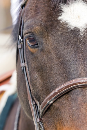 dressage: A close up view of a horses face