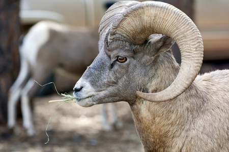 The Bighorn sheep (Ovis canadensis) is a species of sheep in North America[4] named for its large horns. These horns can weigh up to 30 pounds (14 kg), while the sheep themselves weigh up to 300 pounds (140 kg). Recent genetic testing indicates that there photo