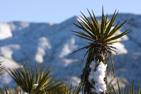 Snow covered desert plants in the Arizona desert photo