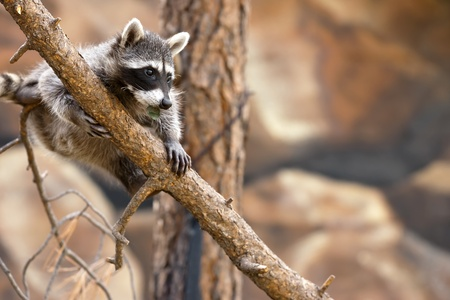 A playful raccoon in a tree in an outdoor environment photo