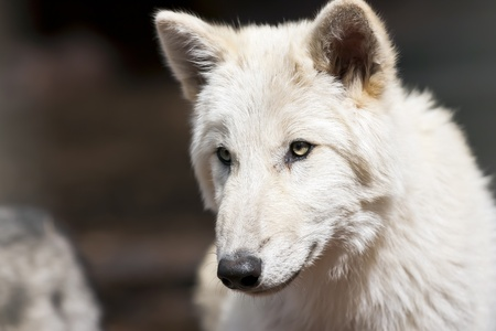 Young male North American wolf staring into the distance photo
