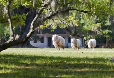 heard: A heard of sheep grazing in a field