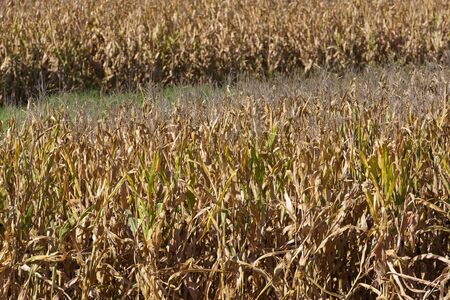 A field of corn in early September, ready for harvest  photo