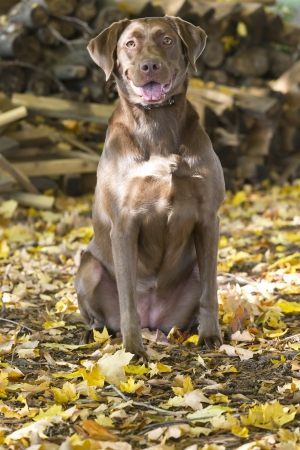 A Chocolate Labrador Retriever prepares for training with decoys    photo